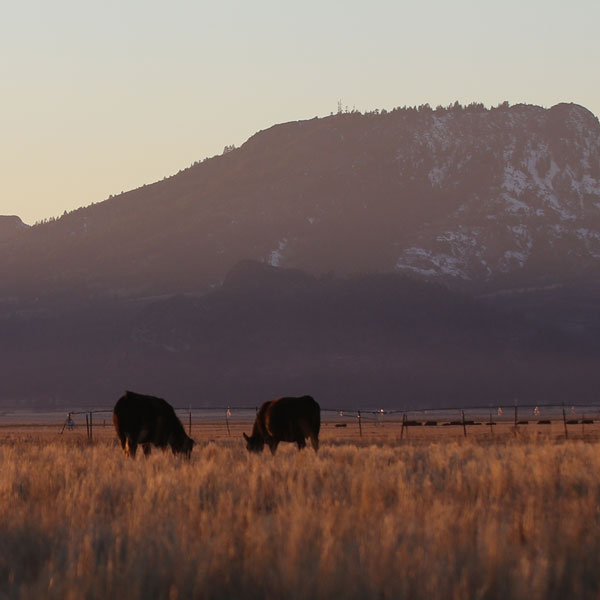 Cows on range at sunset