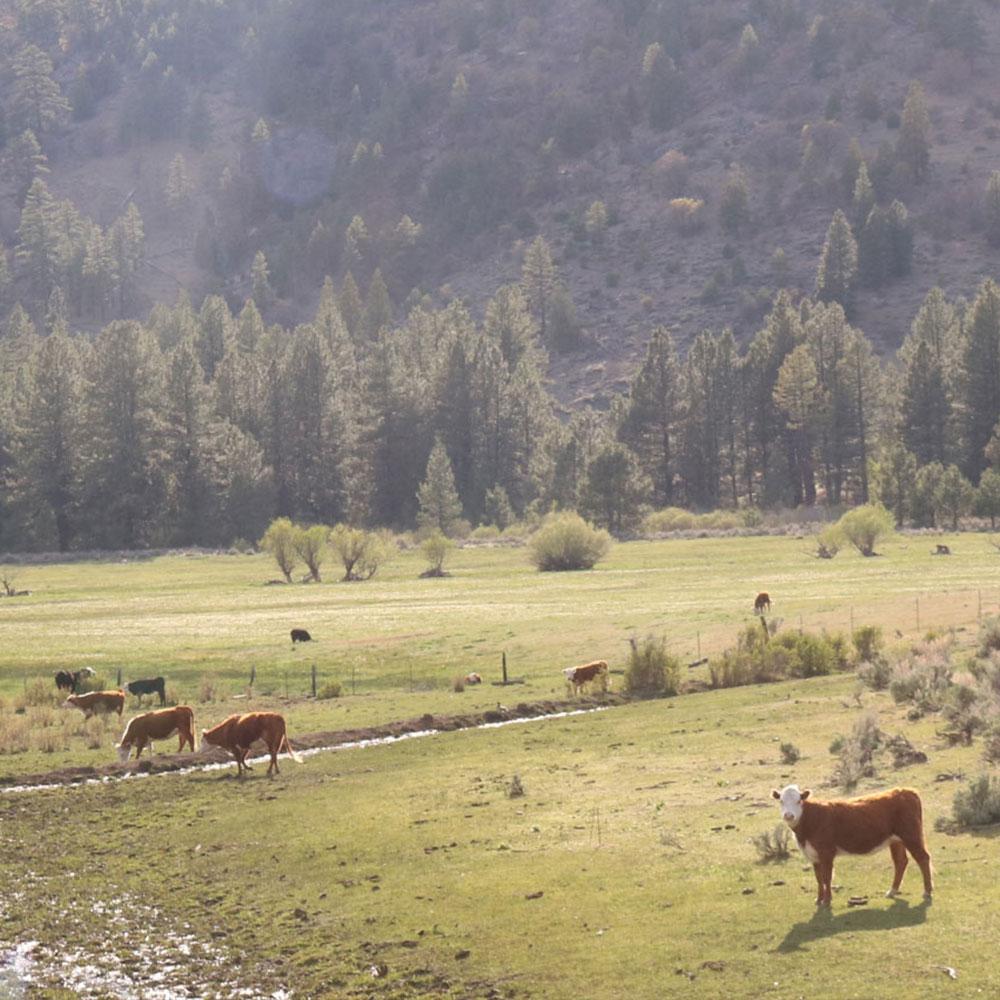 Cattle on California Rangeland